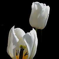 Tulpe mit Einblick