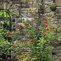 Rosen an der Schlossmauer